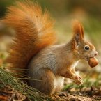 Reddsquirrel