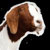 Grumpy-Goat-