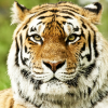 Raging Tiger 98